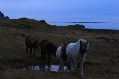 DESOETDEBATS- VOYAGE ISLANDE CHEVAUX ISLANDAIS