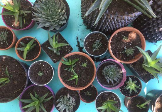 DIY - BOUTURE DE PLANTES GRASSES